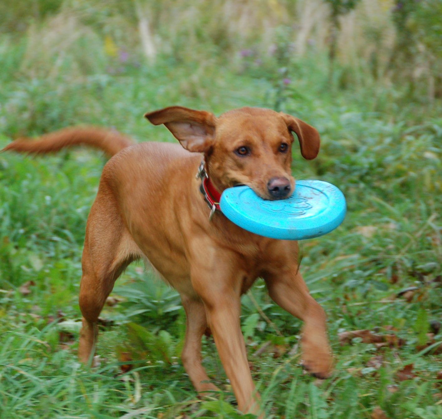 Labrador Retriever fetching Frisbee