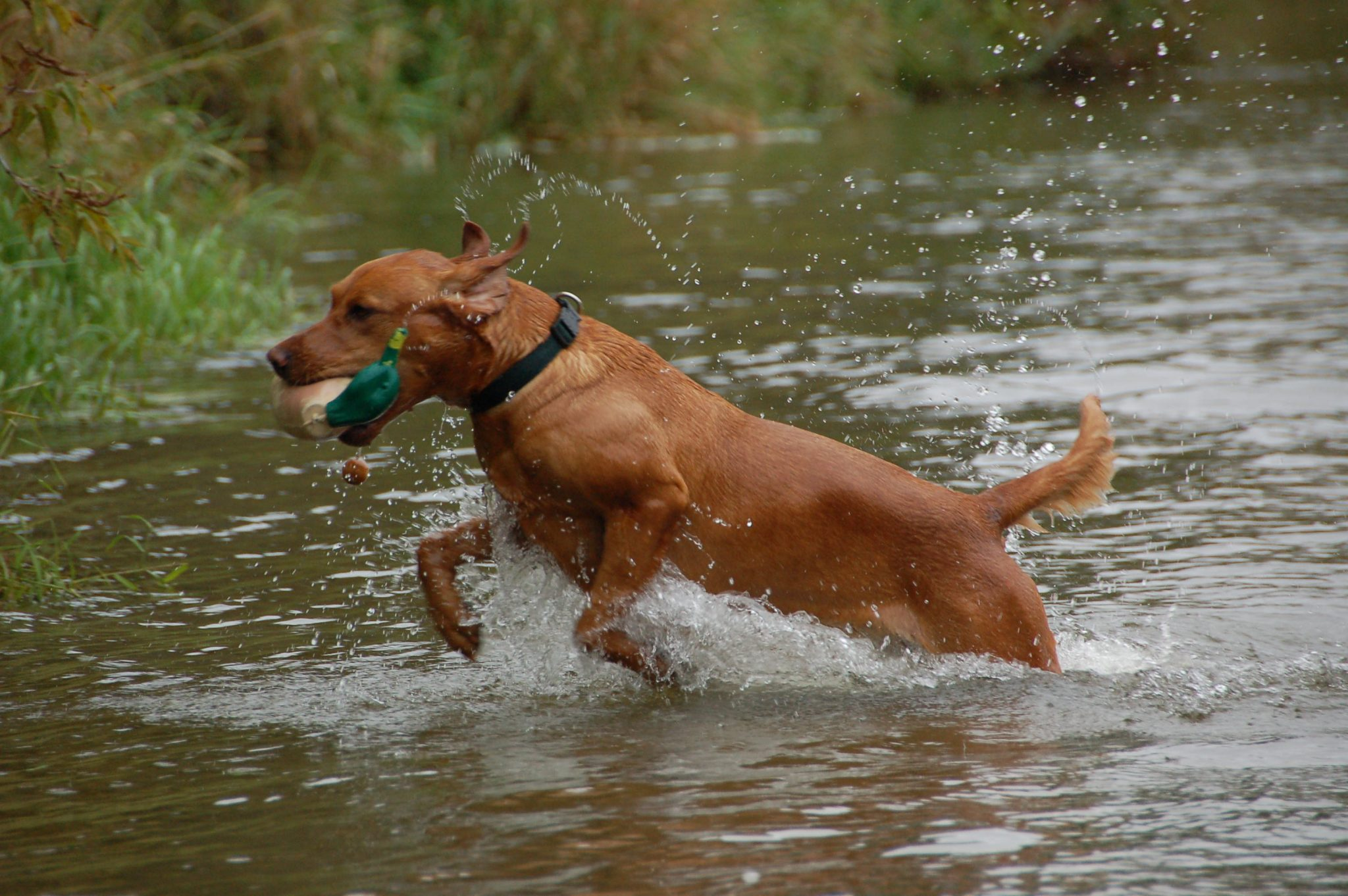 Labrador Retriever retrieving decoy