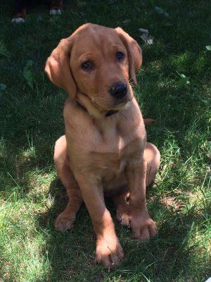 Fox red Labrador Retriever puppies for sale