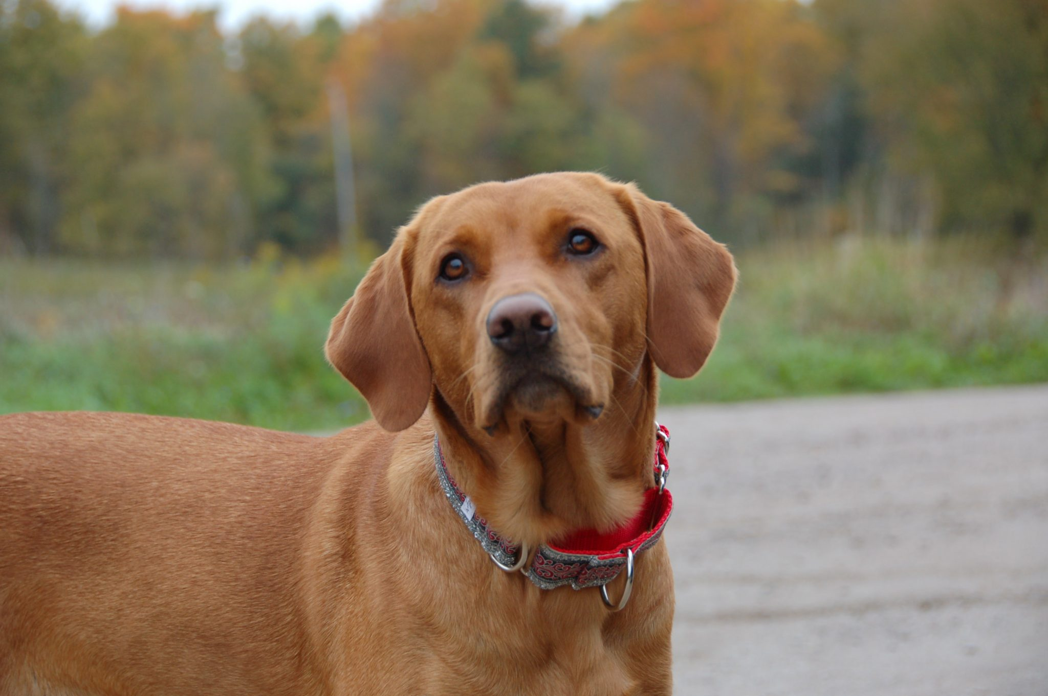 Red Labrador facial features